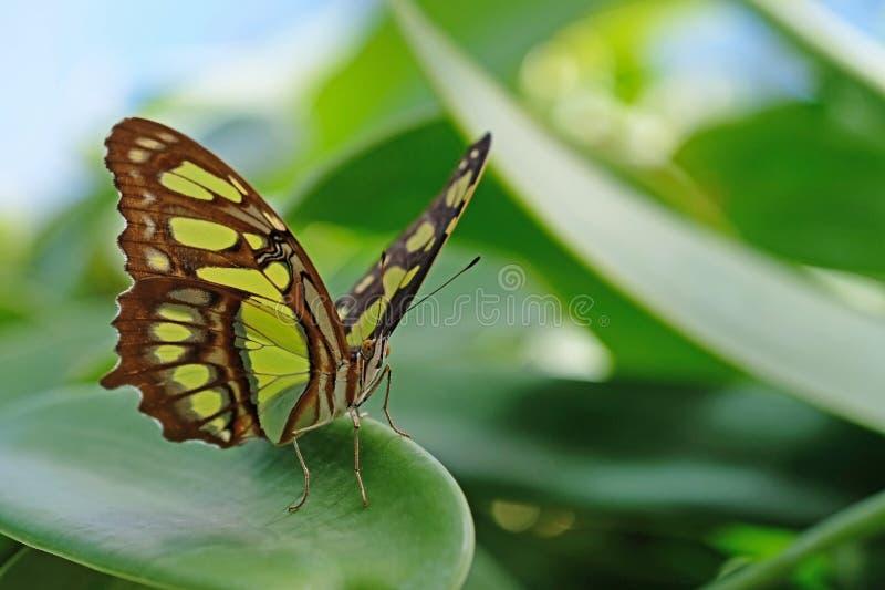 La malachite, stelenes di siproeta, farfalla si è appollaiata sulla foglia immagini stock libere da diritti