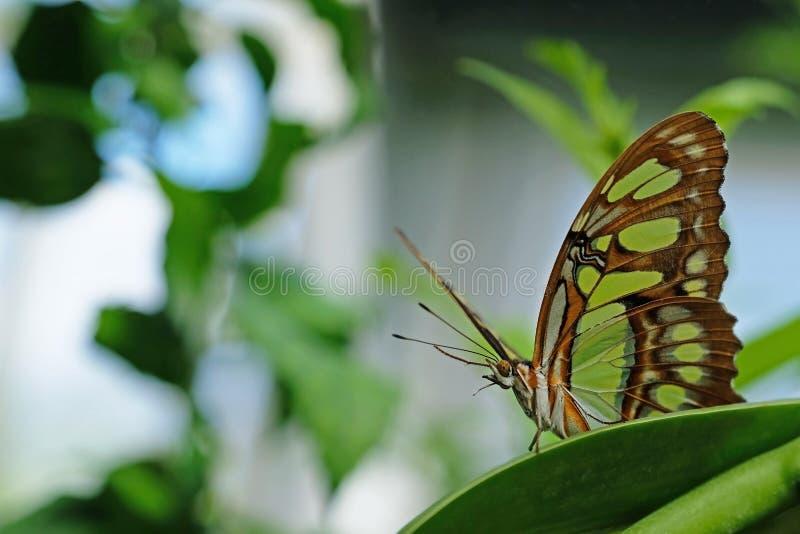 La malachite, stelenes di siproeta, farfalla si è appollaiata sulla foglia immagini stock