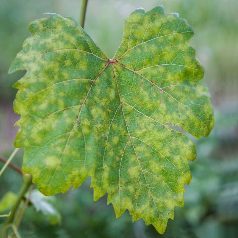 La maladie de feuille de raisin photo stock image 50119878 - Maladie du raisin photo ...