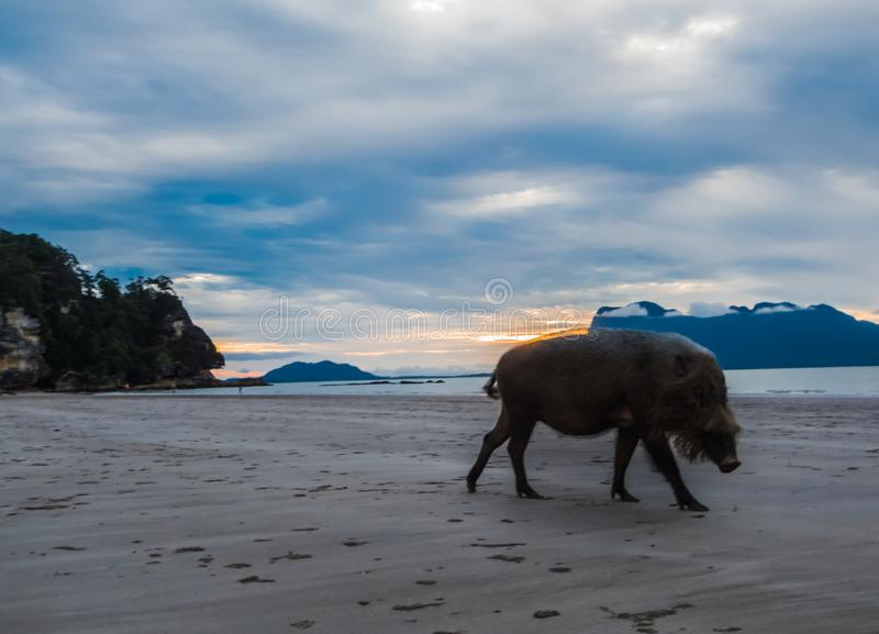 La Malaisie - porc sauvage sur la plage au Bornéo photos stock