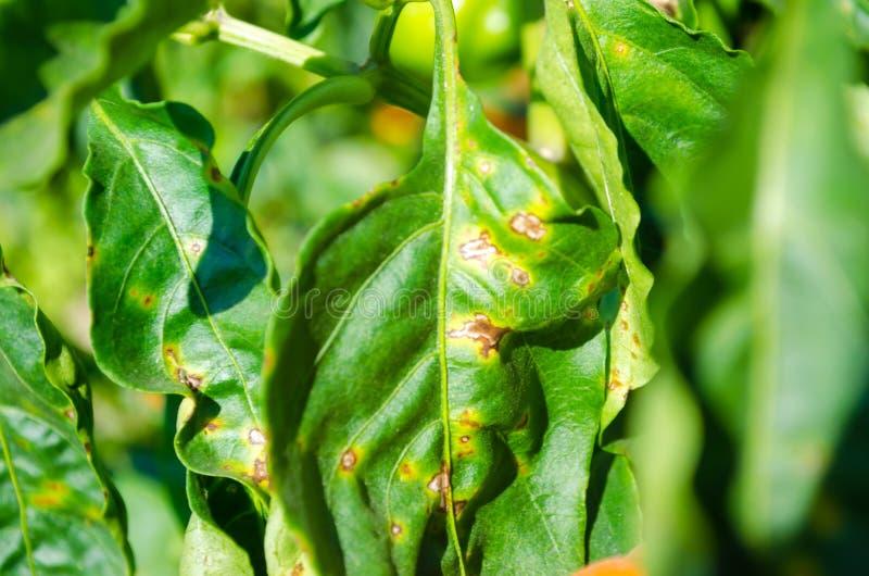 La malattia del pepe è causata dal virus di phytophthora infestans verdure sul campo fotografia stock