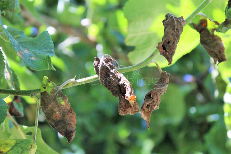 La malattia di colpo di fuoco batterico ha colpito le foglie delle mele fotografia stock libera da diritti