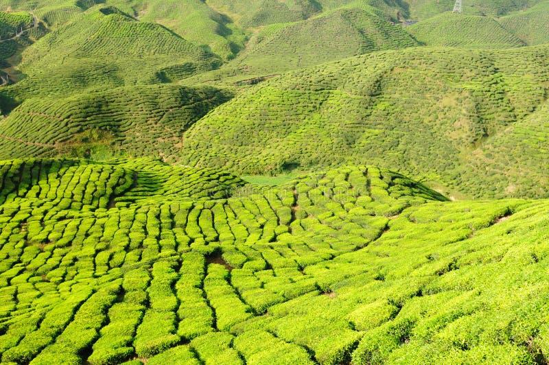 La Malesia, altopiani di Cameron, piantagione di tè fotografia stock libera da diritti