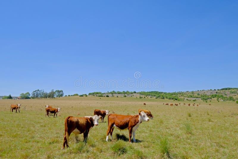 La manada agradable de la gama libre acobarda ganado en el pasto, Uruguay imagen de archivo libre de regalías