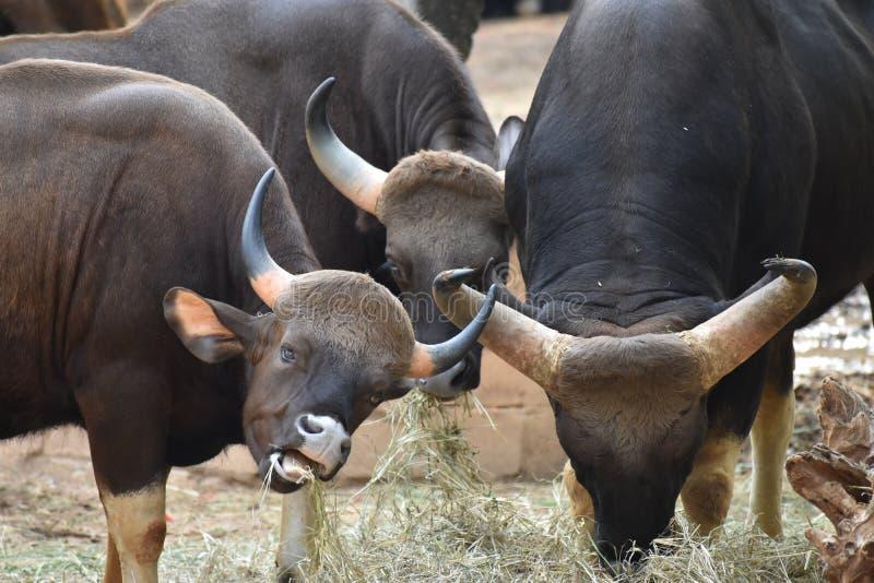 La manada de Bisan en aspecto clásico en bosque foto de archivo libre de regalías
