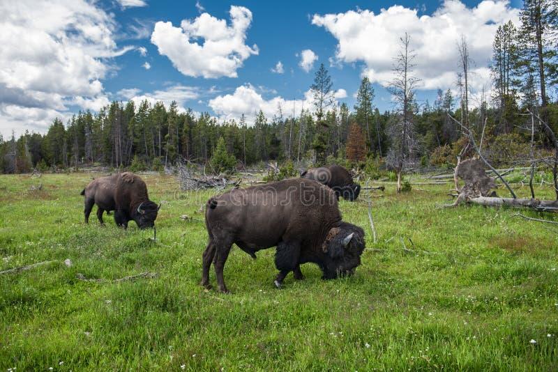 La manada de Bizons pasta en el campo en el parque nacional escénico de Yellowstone en el verano imágenes de archivo libres de regalías