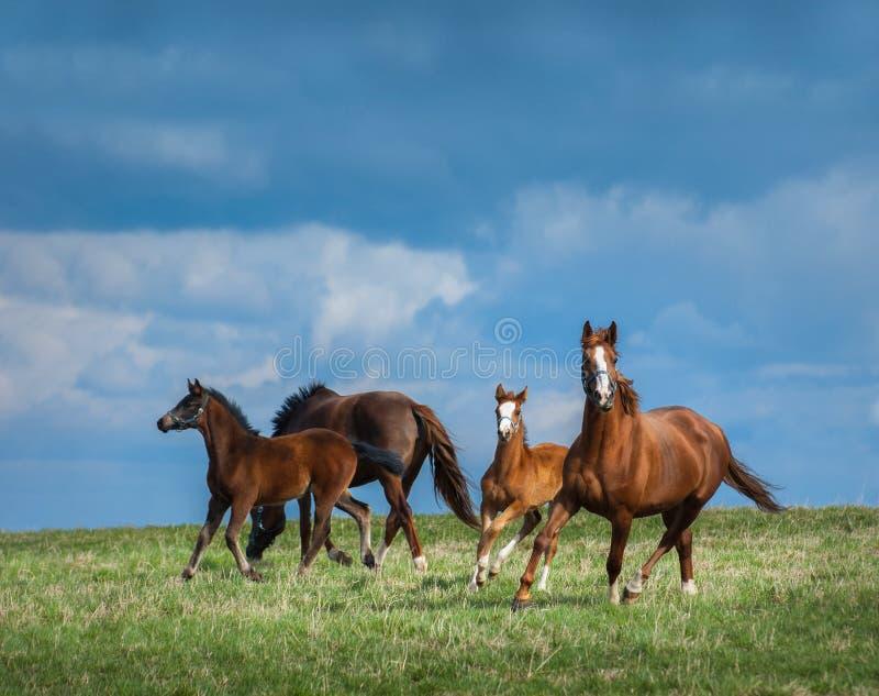 La manada de caballos camina en campo Dos yeguas con los potros en pasto fotos de archivo libres de regalías