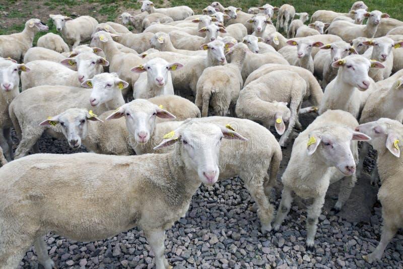 La manada de corderos de un año en granja fotografía de archivo