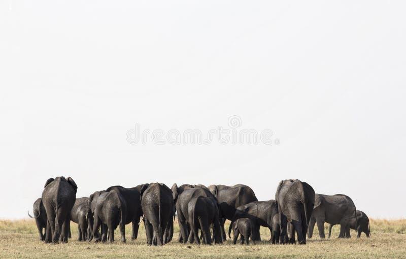 La manada de elefantes se acerca a un waterhole en el parque nacional de Etosha Northrtn Namibia, AfricaElephants en el parque Na imágenes de archivo libres de regalías