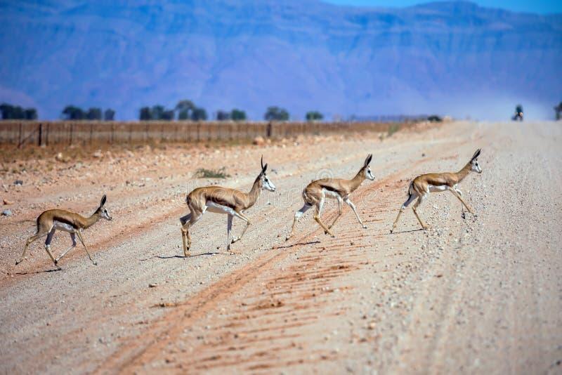 La manada de los antílopes del impala cruza el camino imagen de archivo libre de regalías
