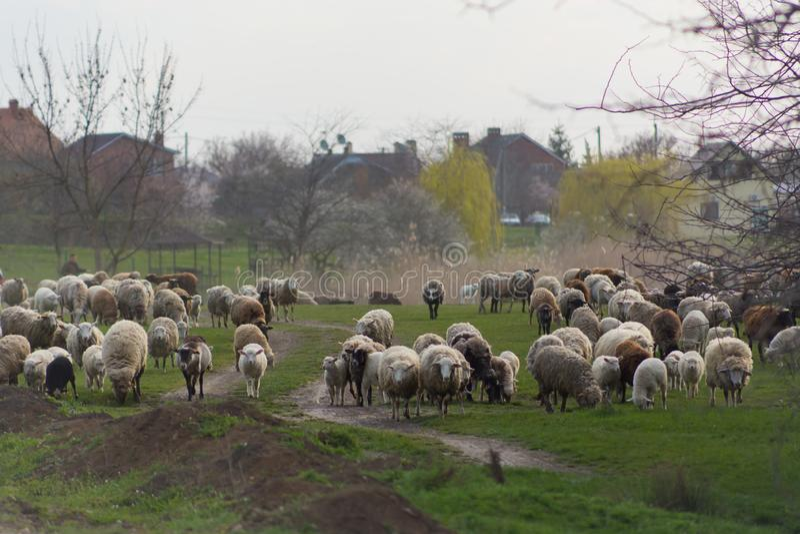 La manada de ovejas y los espolones van en la carretera nacional a pastar para comer la hierba en prado imagenes de archivo