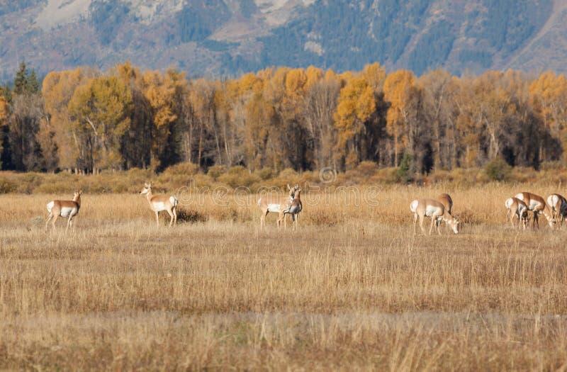 La manada de Pronghorn hace el pasto foto de archivo