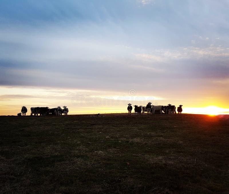 La manada en la puesta del sol fotos de archivo libres de regalías