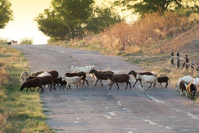 La manada que cruza el camino por la tarde fotografía de archivo