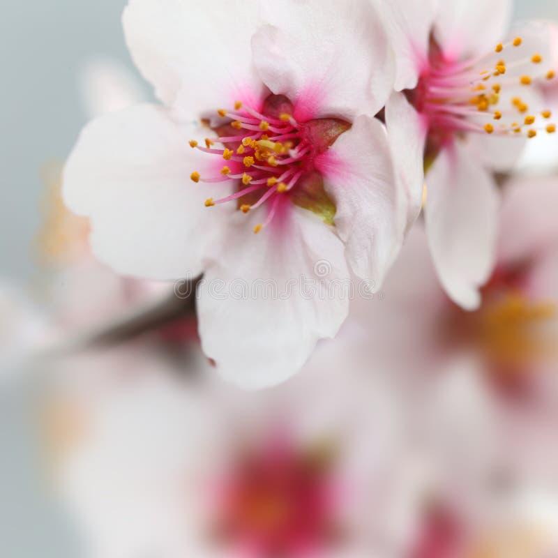 La mandorla fiorisce i fiori immagine stock libera da diritti