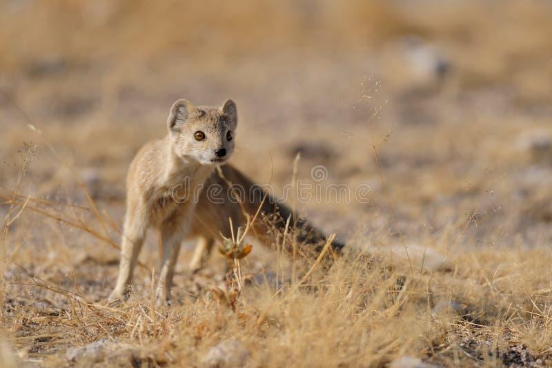 La mangosta amarilla está mirando, nationalpark del etosha, Namibia fotos de archivo libres de regalías