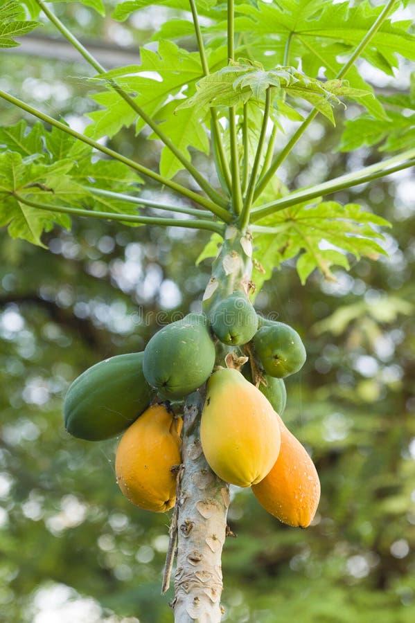 la mangue jaune et verte porte des fruits pendant de l 39 arbre image stock image du dessert. Black Bedroom Furniture Sets. Home Design Ideas