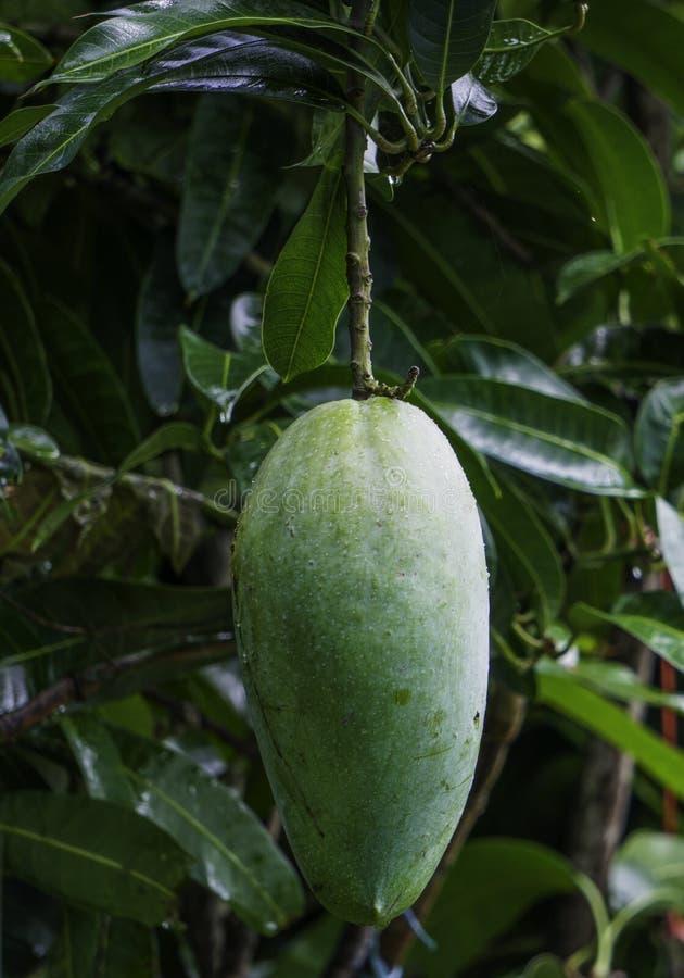 La mangue verte du Roi Size Bangladeshi Maldaha, Chapainawabganj obtient la nouvelle mangue image libre de droits