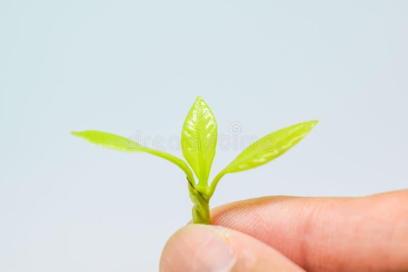 La mano che tiene i tiri molli degli alberi estendere a voi, tiri molli degli alberi nelle mani su fondo bianco, tre verde chiaro fotografia stock