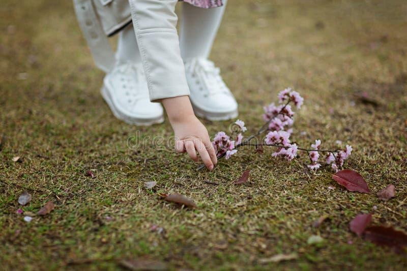 La mano coge de la rama de tierra del árbol de melocotón floreciente fotos de archivo