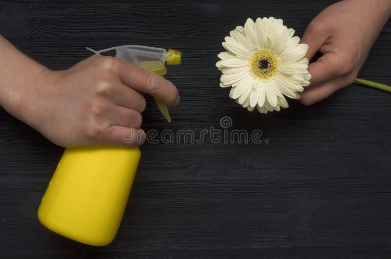 La mano con la bottiglia dello spruzzatore spruzza l'acqua sul fiore bagnato della gerbera bianca innaffiamento fotografie stock libere da diritti