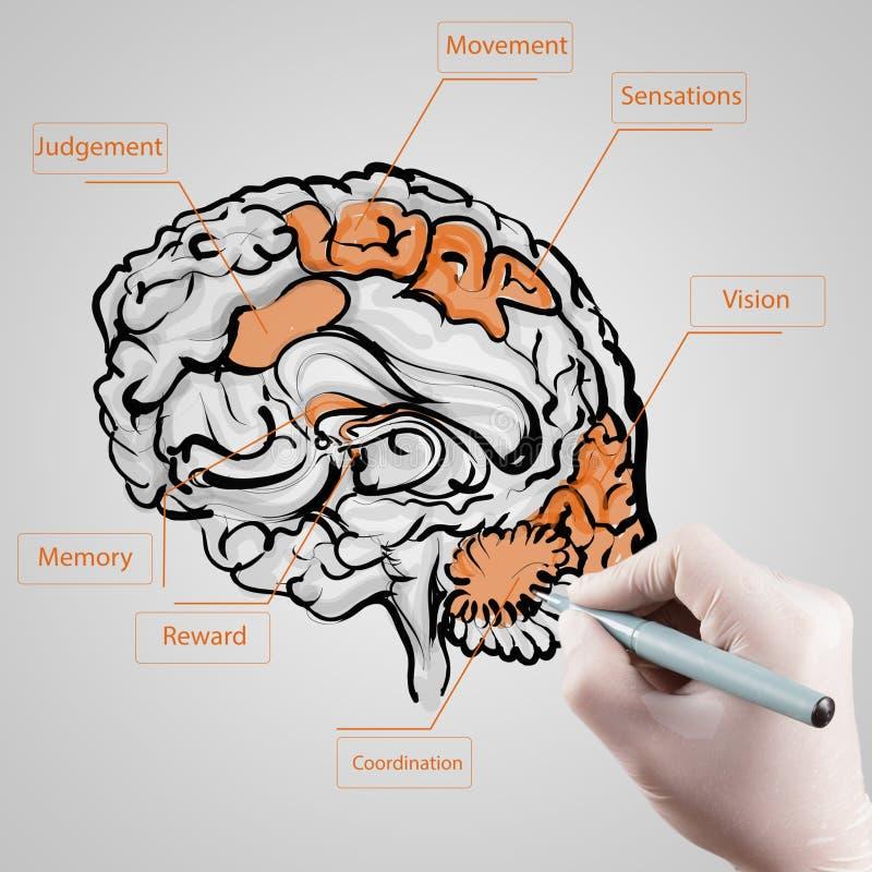 La mano con el guante dibuja el cerebro como concepto médico foto de archivo
