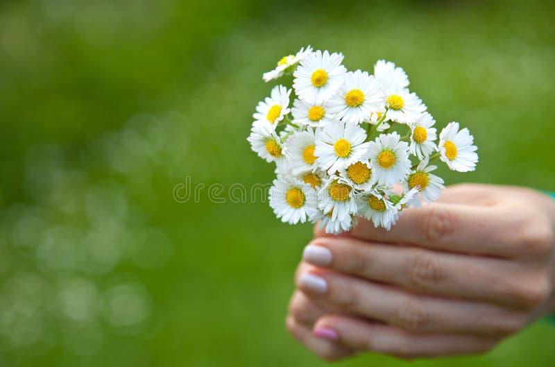 La mano de la mujer con una manzanilla el día de verano imagenes de archivo