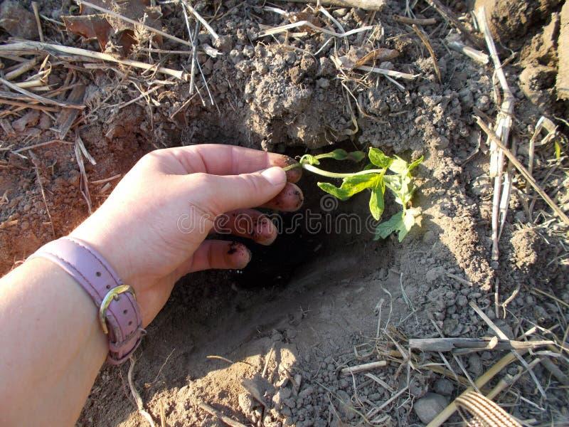 La mano de la mujer que planta el almácigo del tomate imagenes de archivo