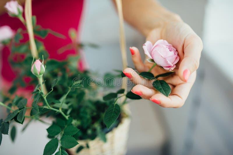 La mano de la mujer suavemente rosas de una flor imágenes de archivo libres de regalías