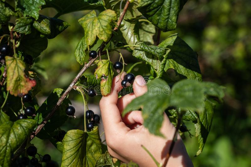 La mano de las bayas de los rasgones de un niño de un arbusto de grosella negra fotografía de archivo