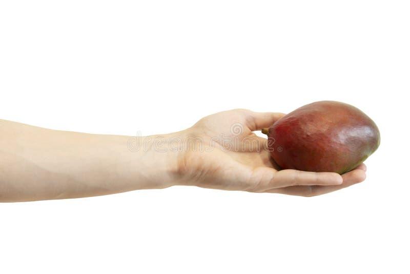 La mano de los hombres da un mango rojo aislado en el fondo blanco El brazo del varón sostiene la fruta exótica fotos de archivo libres de regalías