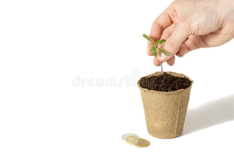 La mano de los hombres plantaba el tomate los alm?cigos en la tierra para secarse El concepto de empaquetado respetuoso del medio fotos de archivo