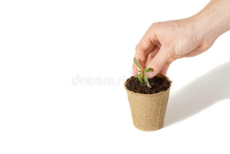 La mano de los hombres plantaba el tomate los alm?cigos en la tierra para secarse El concepto de empaquetado respetuoso del medio foto de archivo