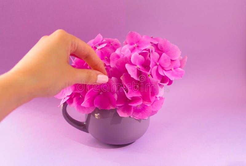 La mano de la muchacha pone un ramo de hortensias rosadas en una taza de la lila en un fondo del fiodet imagenes de archivo