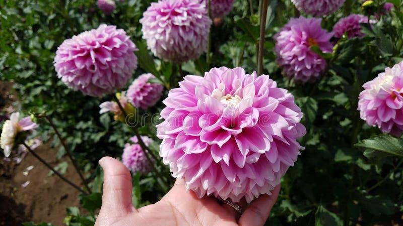 La mano de la mujer con la planta de la tenencia del oro y del anillo de diamante con las flores rosadas y las hojas verdes fotos de archivo libres de regalías
