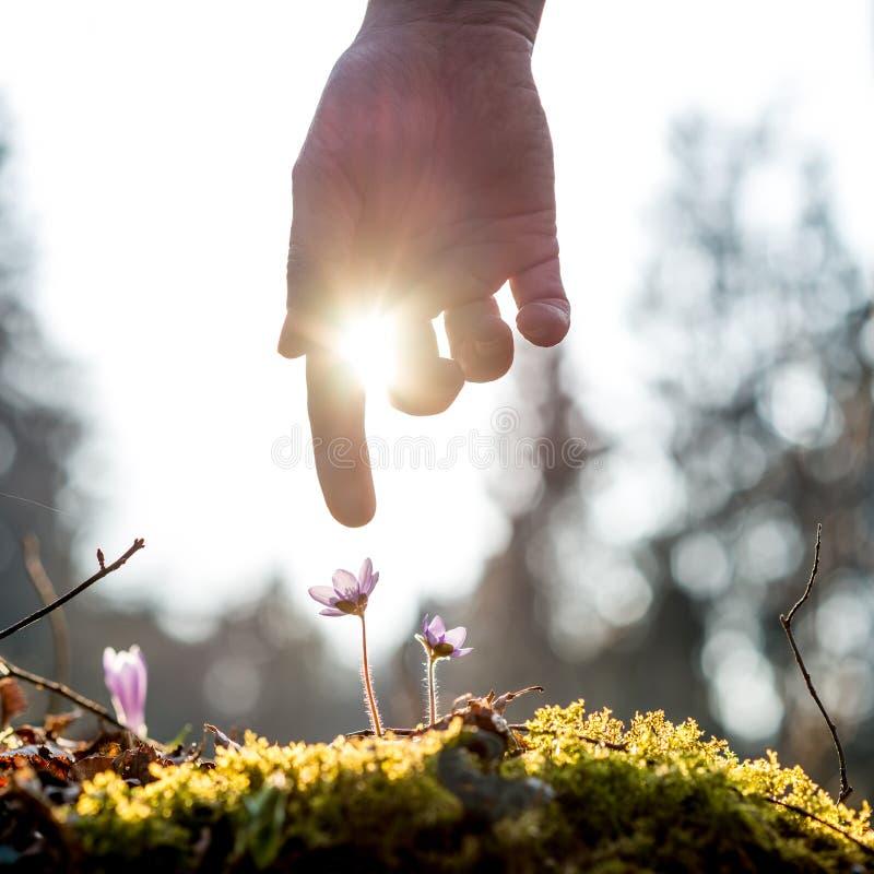 La mano de un hombre sobre la flor azul detrás se encendió por el sol foto de archivo