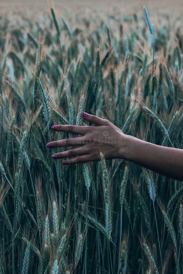 La mano de una mujer joven pasa a través de las espiguillas amarillas del trigo en un cierre del campo para arriba en tiempo de l imagenes de archivo