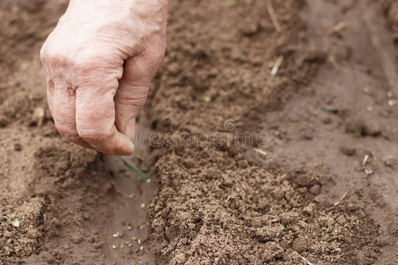 La mano de una persona mayor siembra las semillas en el suelo, vista delantera imagenes de archivo