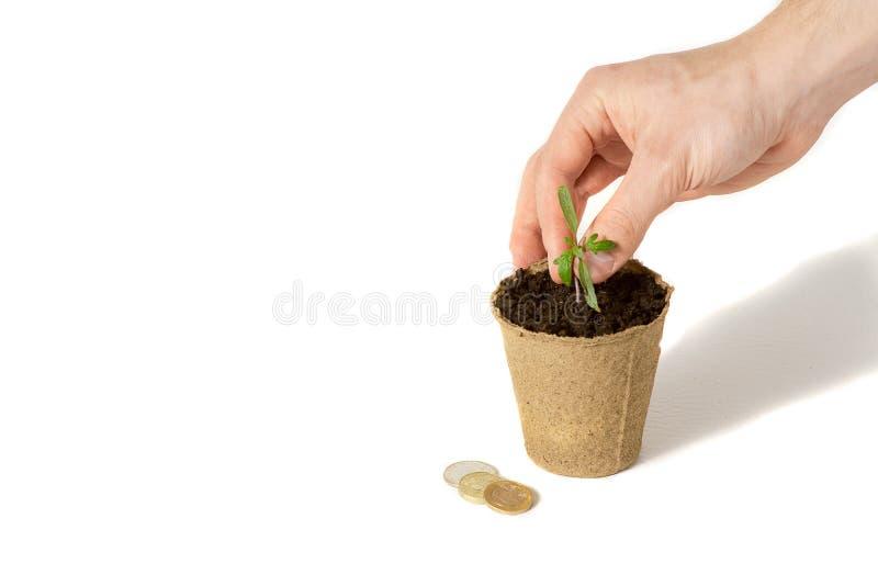 La mano degli uomini stava piantando il pomodoro le piantine in terra per asciugarsi Il concetto di imballaggio ecologico immagine stock libera da diritti