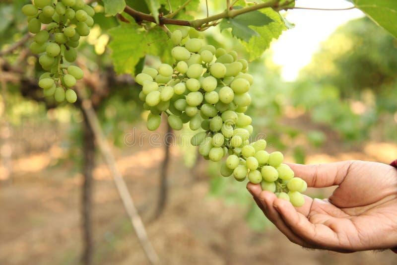 La mano del control del granjero en septiembre y recoge los manojos seleccionados de la uva en el maharastra nasik de la India pa imagen de archivo