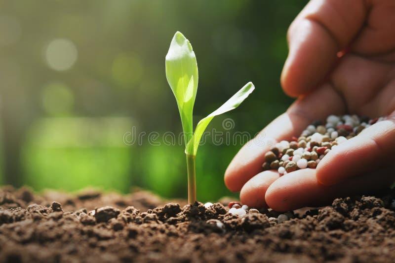 la mano del granjero est? vertiendo los fertilizantes qu?micos para el ma?z joven en granja fotos de archivo libres de regalías
