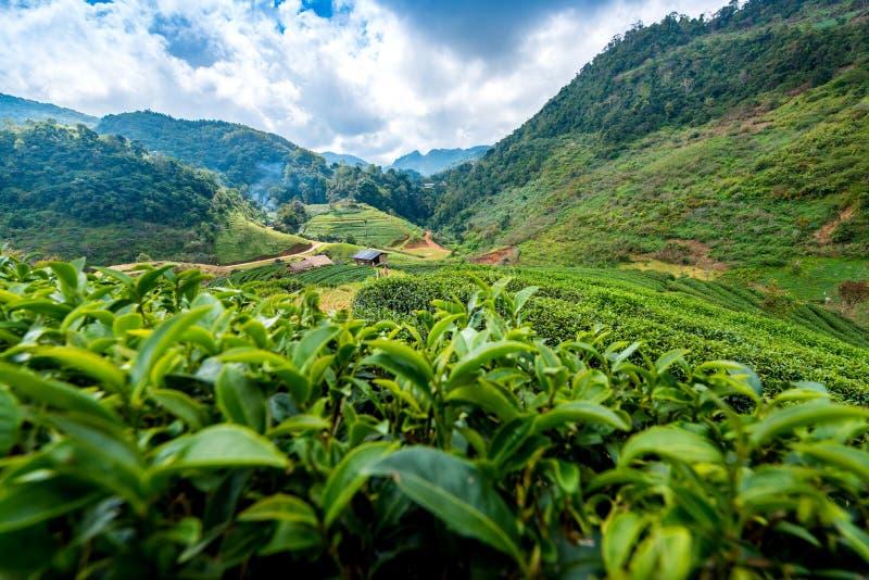 La mano del ` s della donna anziana sta raccogliendo le foglie di tè alla piantagione di tè immagini stock libere da diritti