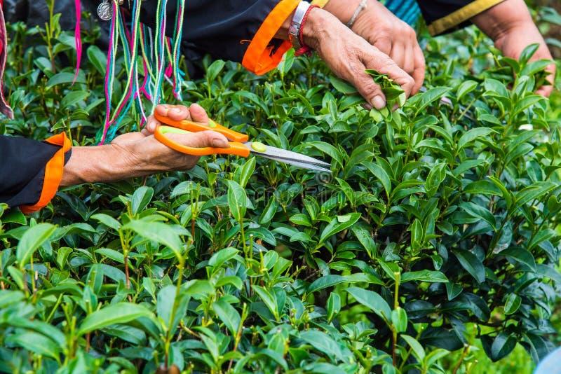 La mano del ` s della donna anziana sta raccogliendo le foglie di tè alla piantagione di tè; Provincia di Chiangmai; La Tailandia fotografie stock libere da diritti