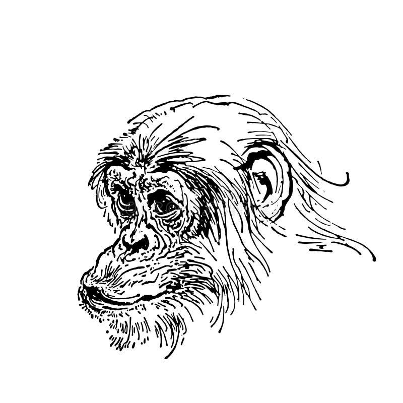 La mano del vector dibujada bosqueja del mono aislado en el fondo blanco ilustración del vector