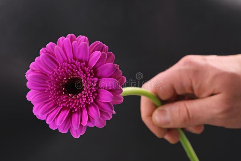La mano dell'uomo sta giudicando un fiore rosa della gerbera isolato su fondo scuro immagini stock