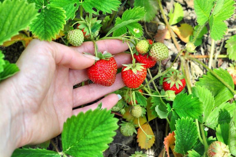 La mano della donna con le fragole fresche si è raccolta nel giardino Fragole organiche fresche che crescono sul campo immagini stock