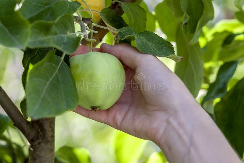 La mano della donna seleziona una mela verde da un ramo di melo con il le fotografie stock libere da diritti