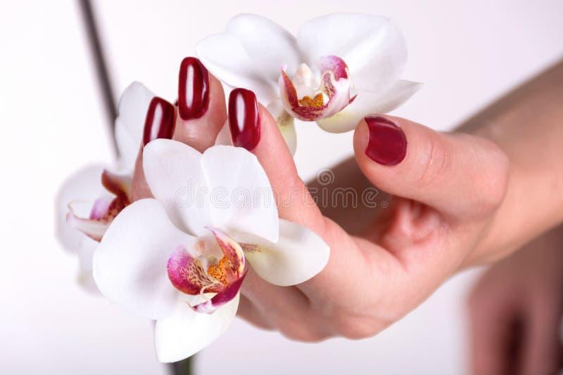 La mano della giovane donna con le unghie rosso scuro lucida il colore che tiene il fiore bianco dell'orchidea immagini stock libere da diritti