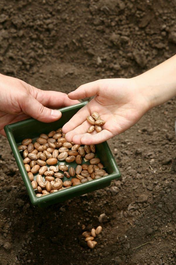 La mano di un uomo tiene una ciotola di fagioli Le mani del bambino hanno piantato i fagioli marroni in un foro nella terra immagine stock libera da diritti