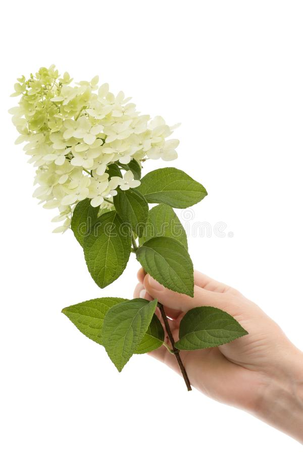 La mano di una donna tiene un fiore dell'ortensia, isolato su fondo bianco fotografia stock